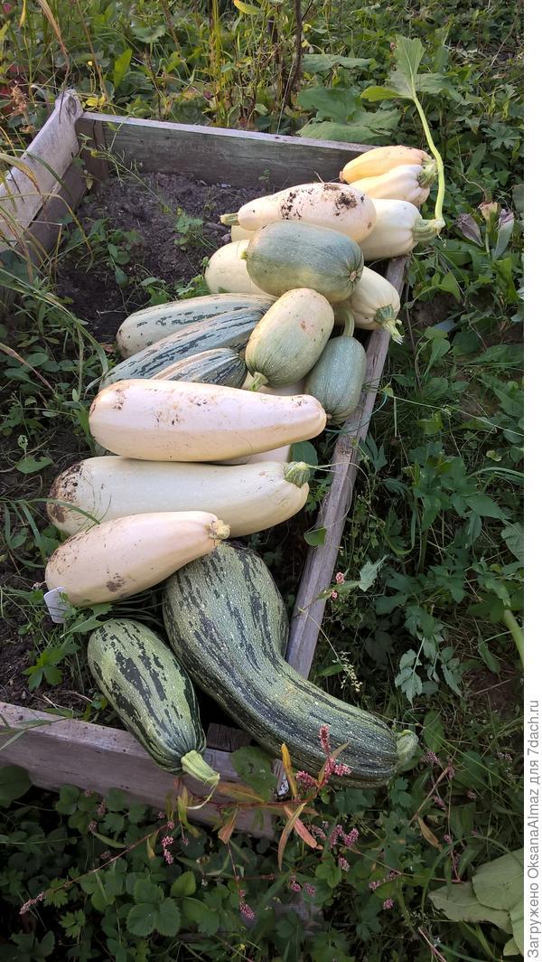 Урожай кабачков тоже был неплох!
