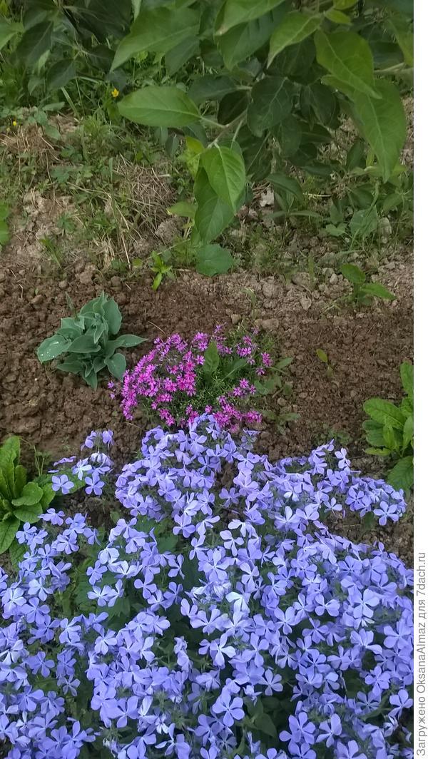 Флокс растопыренный. Цветет весной великолепным пахнущим ковром.