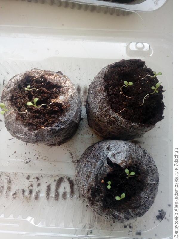 Семена посадила 9.02.2018,в 2 таблетки по 3 шт.,в одну - 4 шт. 17.02.2018. появились первые петельки,сегодня 21.02.2018. увидела первые листочки.В трёх таблетках пока выросли по 3 растения.Буду ждать ещё. Росли на южном окне,при температуре 21°-22°,не досвечиваю.