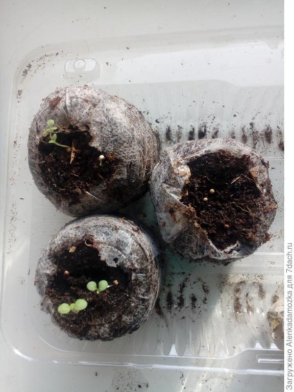 Семена посадила 9.02.2018,в две таблетки по 3 шт.,в одну 4 шт.17.02.2018.  появились первые петельки,сегодня 21.02.2018 увидела первые листочки.В двух таблетках по 2 шт. растения,в одной пока нет,буду ждать.Росли на южном окне,при температуре 21°-22°,не досвечиваю.
