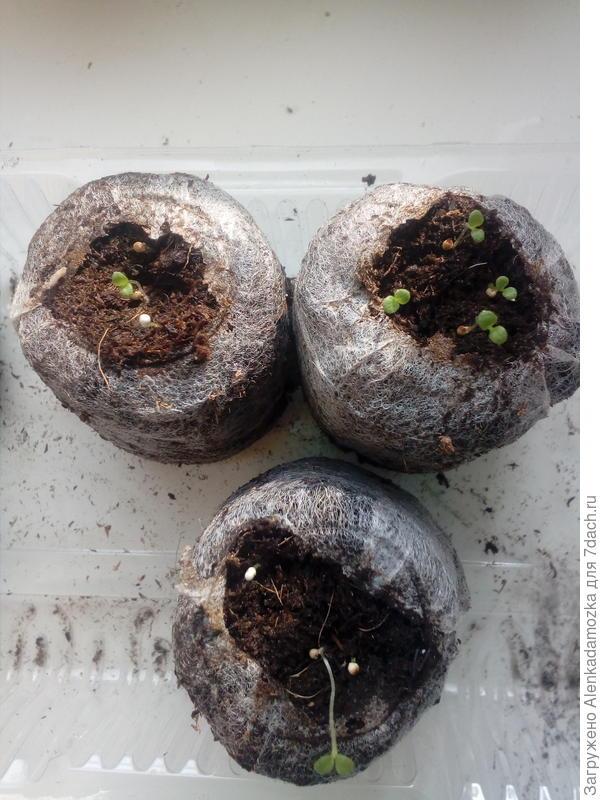 Семена посадила 9.02.2018,в две таблетки по 3 шт., в одну 4 шт. Первые петельки появились 17.02.2018,сегодня 21.02.2018 увидела первые листочки.В одной таблетке - 4,в двух по 1 пока,буду ждать.Росли на южном окне,при температуре 21°- 22°,не досвечиваю.