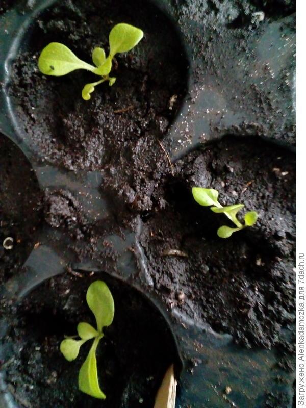 Из 10 семян только пока 3,буду дальше наблюдать, полила тёплой водой. Расти будут на южном окне, не досвечивая.
