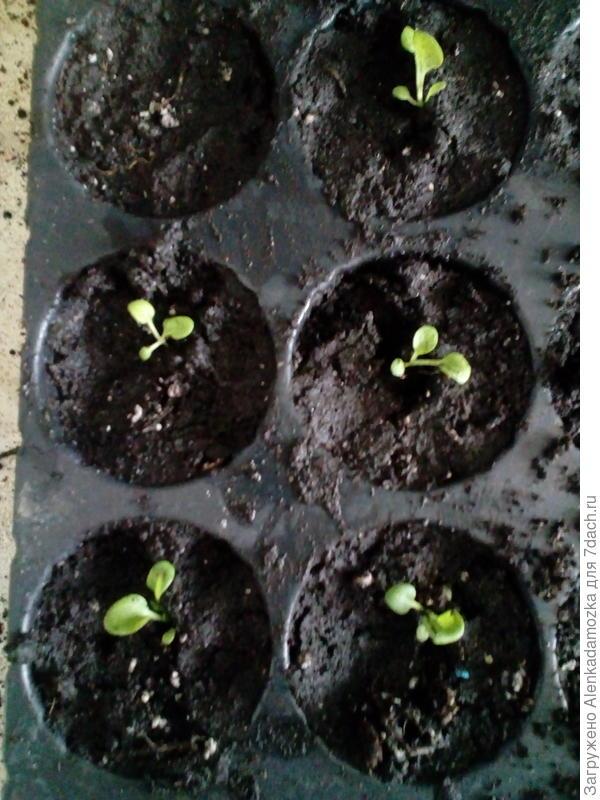 Из 10 семян только пока 8,буду дальше наблюдать,полила тёплой водой. Расти будут на южном окне,не досвечивая.