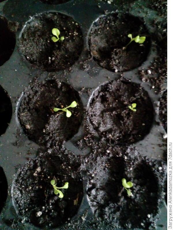 Из 10 семян пока только 8,буду дальше наблюдать, полила тёплой водой. Расти будут на южном окне,не досвечивая.