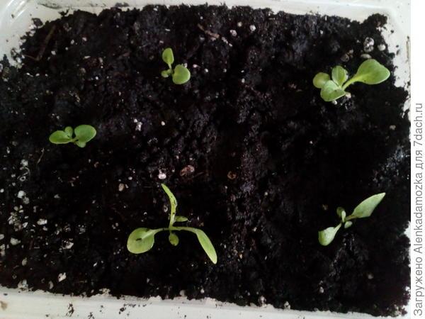 Из 10 семян только пока 7,буду дальше наблюдать, полила тёплой водой. Расти будут на южном окне, не досвечивая.