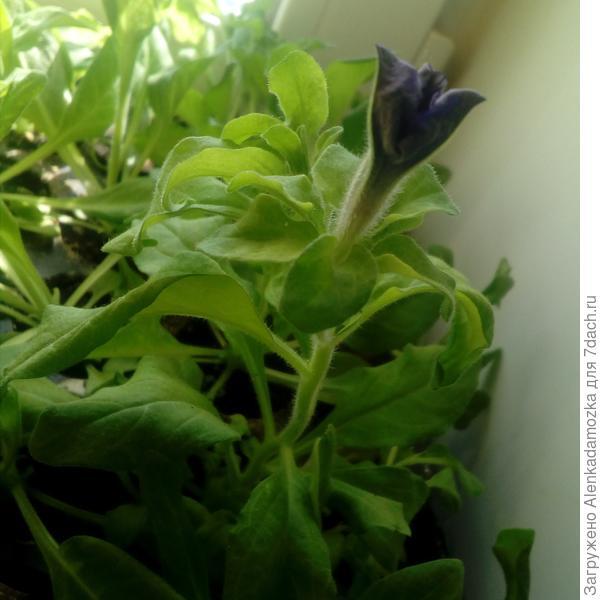 Сегодня,14.04.18,увидела бутон растения.Скоро расцветет.