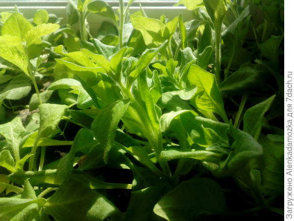 Семена петунии посадила 9.02.18.Росли на южном окне,сейчас на улице жарко стало,я комнату проветриваю.