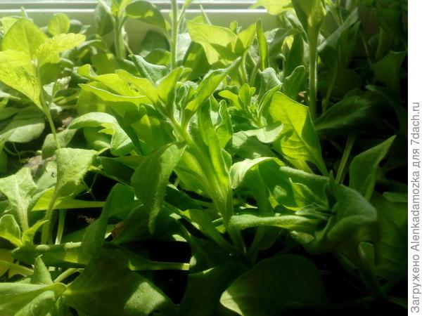 Семена петунии посадила 9.02.18.Растут на южном окне,проветриваю комнату,т.к. жарко.