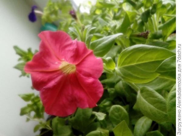 Сегодня цветочек распустился.