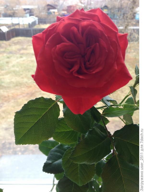 На фотографии моя мини роза , которая цвела в ноябре дома