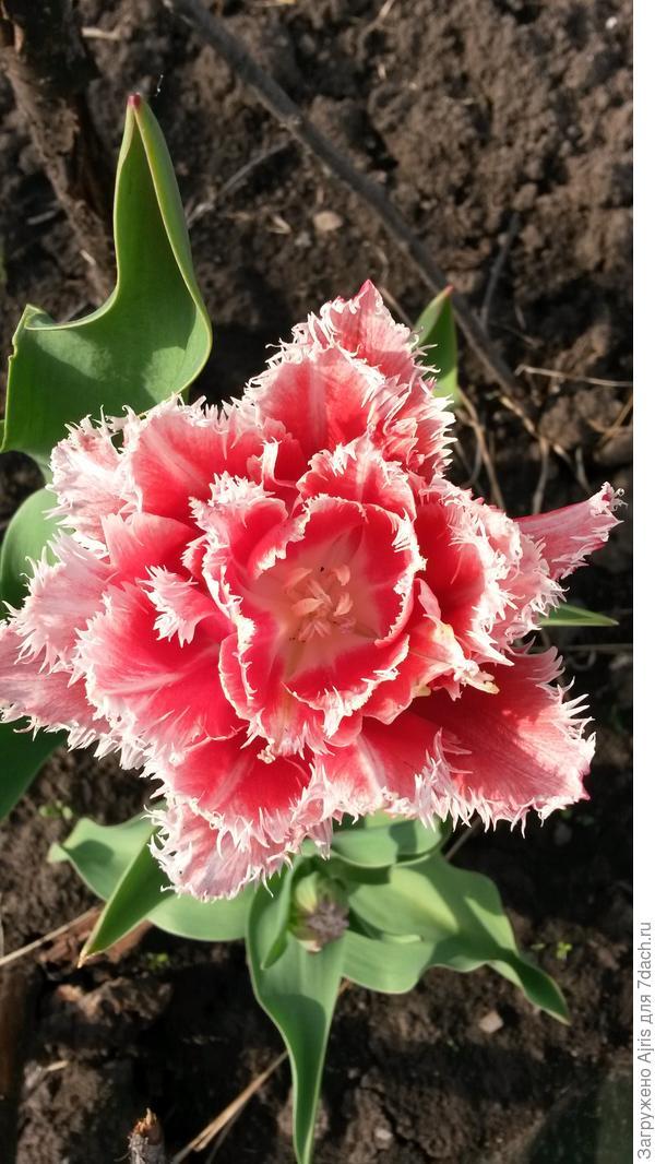 Мой любимый тюльпан
