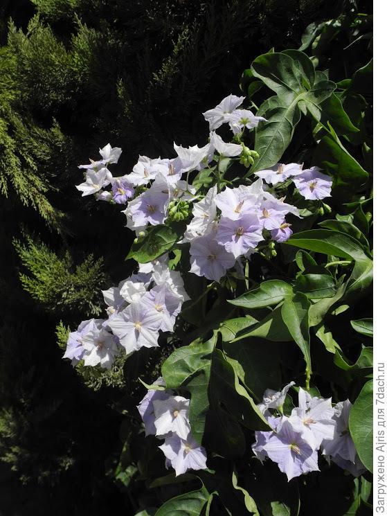 Картофельное дерево – это паслен горечавковидный родом из Южной Америки. Также встречается на Мадейре. Крупные виды красивоцветущего паслёна выращивают как кадочные растения. Большую популярность получили за красивые, довольно крупные цветы, продолжительное и обильное цветение, а также за быстрый рост и неприхотливость.