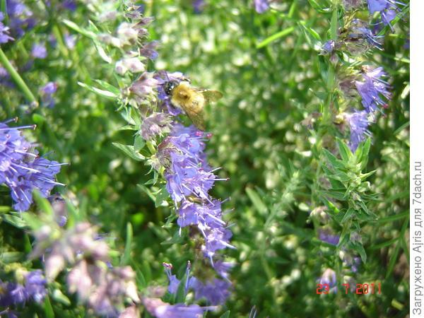 Пчелки очень любят иссоп