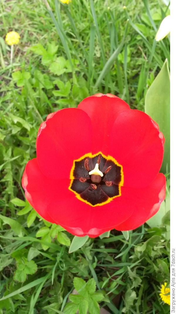 Красный огонечек тюльпана