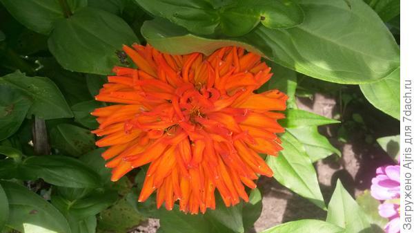 Цинния-кактус