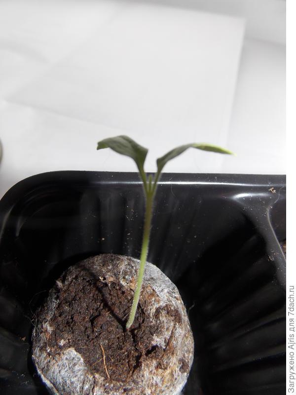 Первый настоящий листик подрастает
