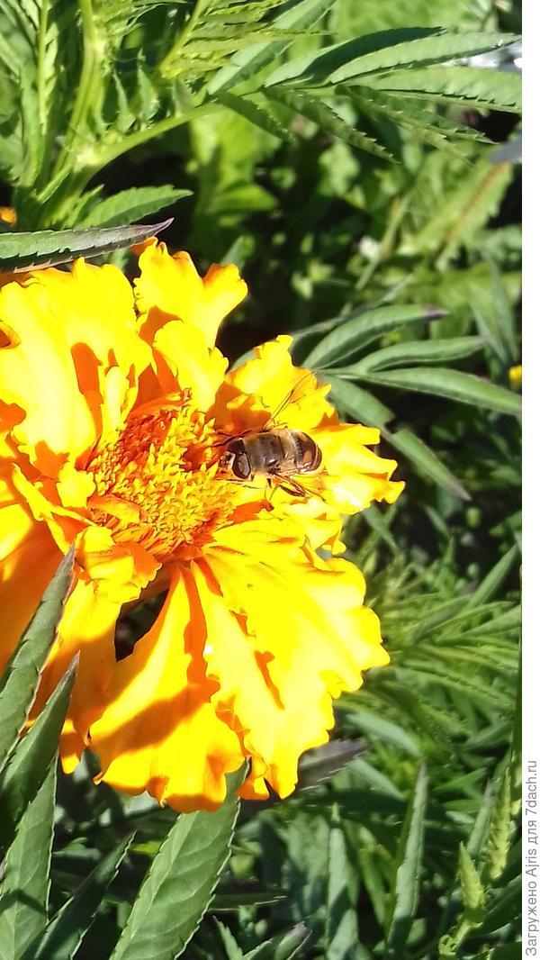 Пчелка на бархатцах мед ищет