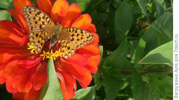 Бабочки любят циннии