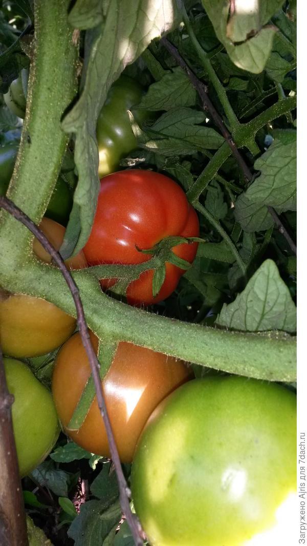 Первые краснеющие томаты Пышка