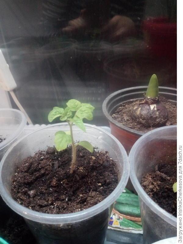 помидорки немного подросли, сорт  для балконов