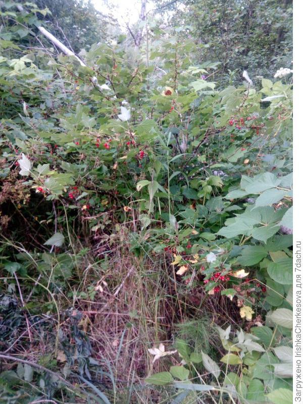 Сморода в моем заброшенном саду.