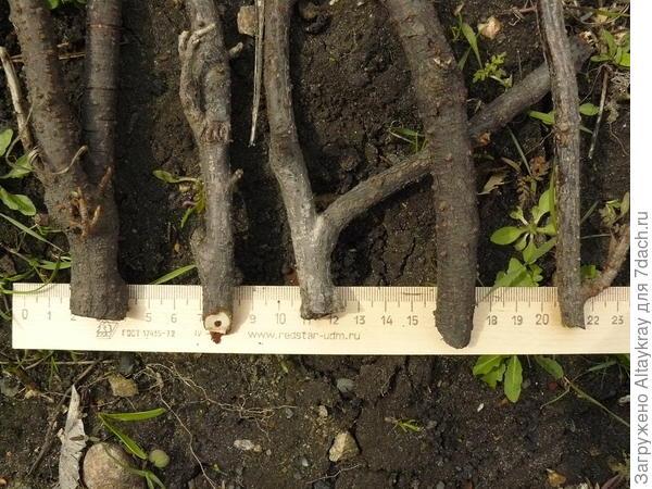 Ветки смородины на линейке сантиметровой, чтобы оценить толщину