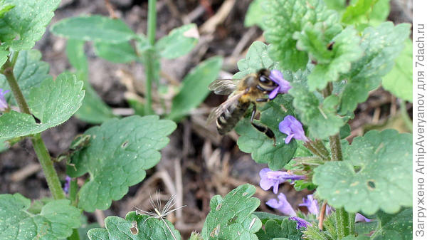 пчелы на нее летают