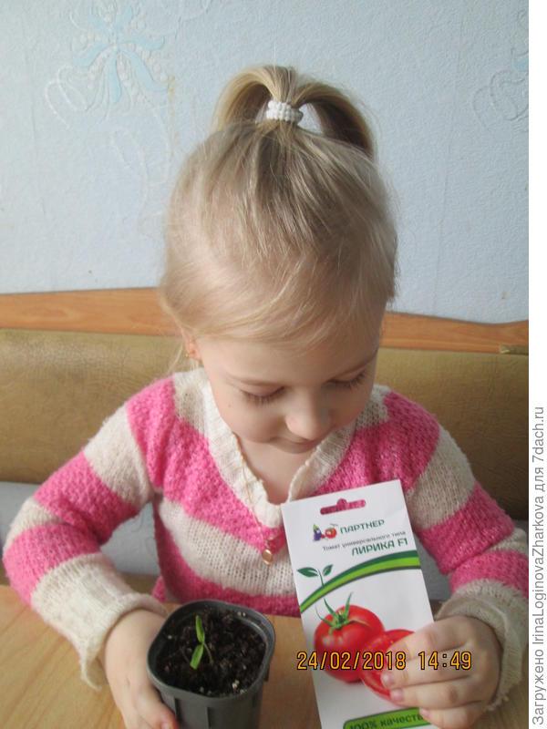 "Милашкина растишка томата ""Лирика""начинает свой рост."