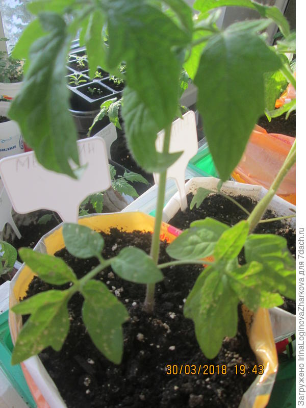 Верхние листочки новенькие,а нижние обработаны хлореллой
