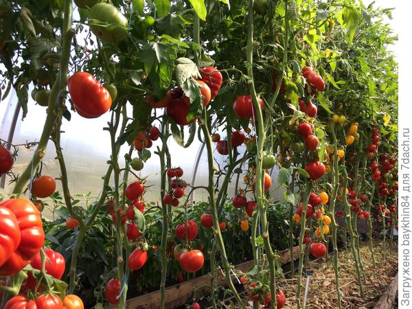 урожай томатов 2017