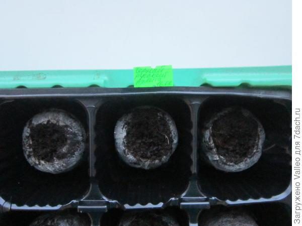Торфяные таблетки с семенами в мини-парнике