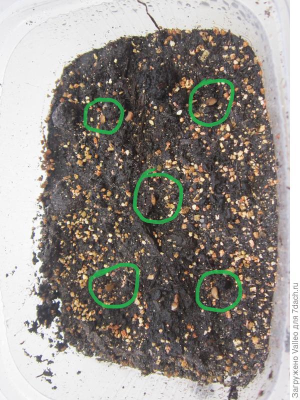 семена посеяла в грунт