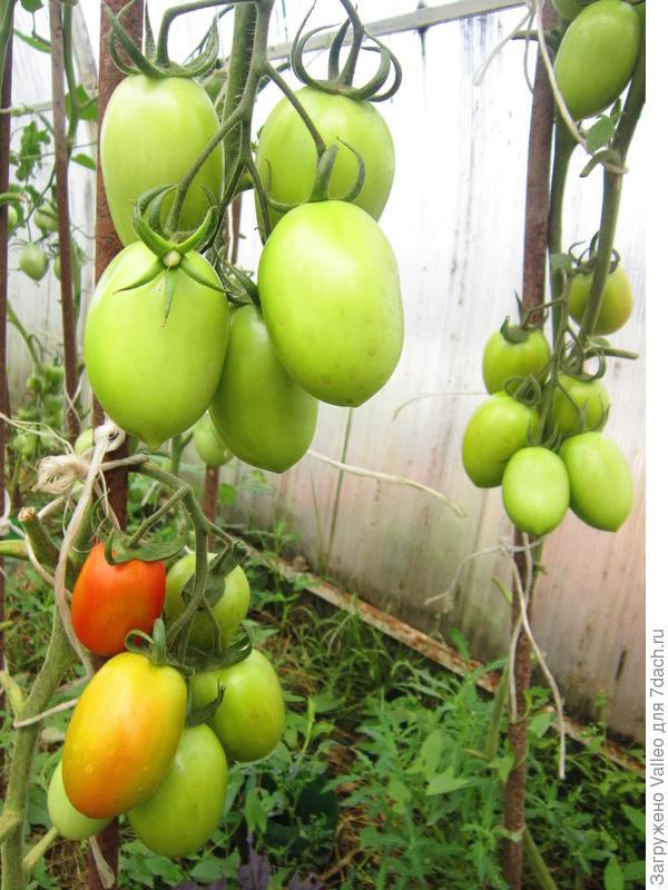 Буреют помидорчики