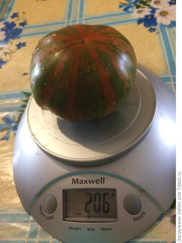 первый снятый помидор