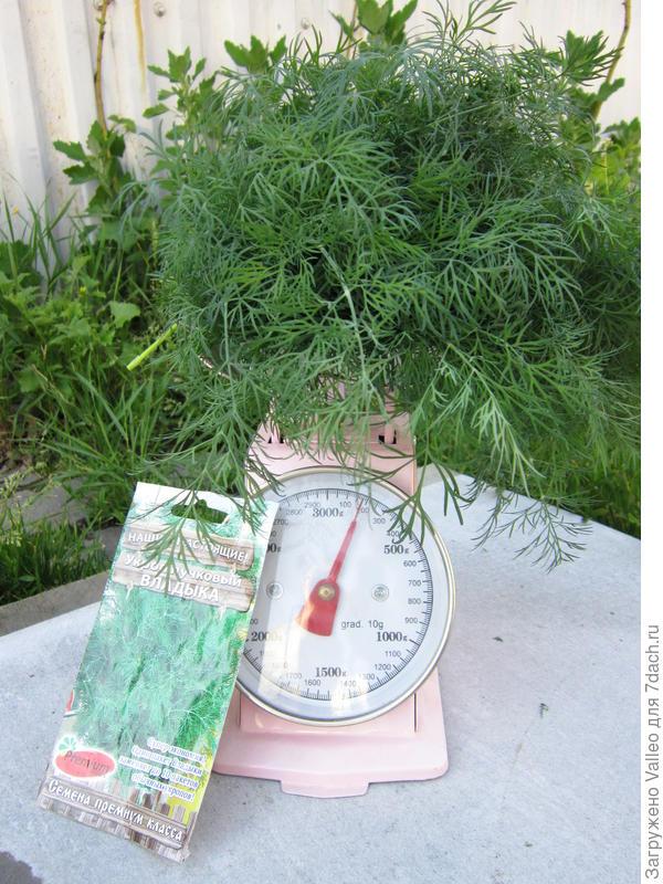 Посадил на огороде укроп 'Владыка' - дождись пышных кустов, срывать урожай не спеши-ка!
