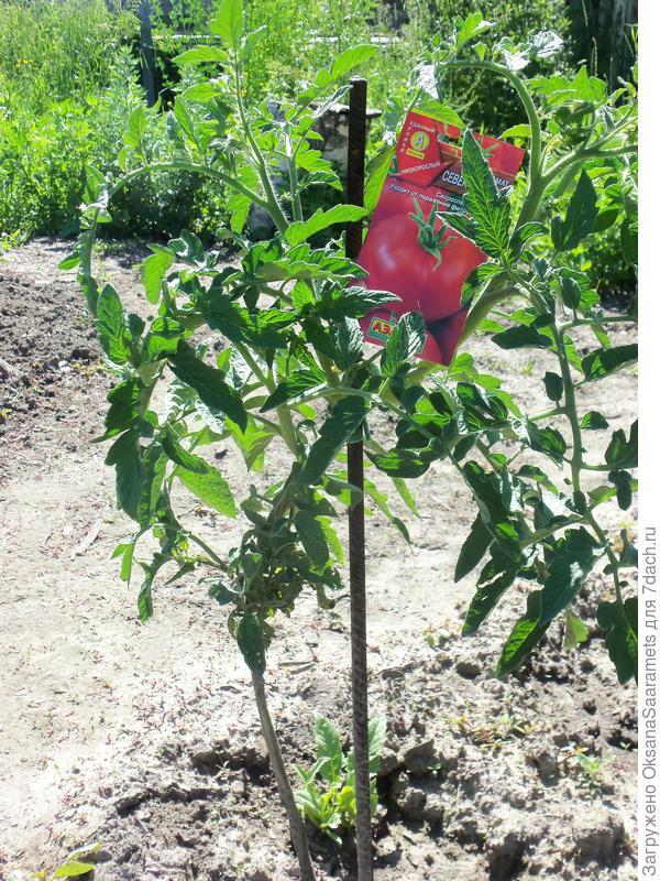 Третье растение, посев 29 марта