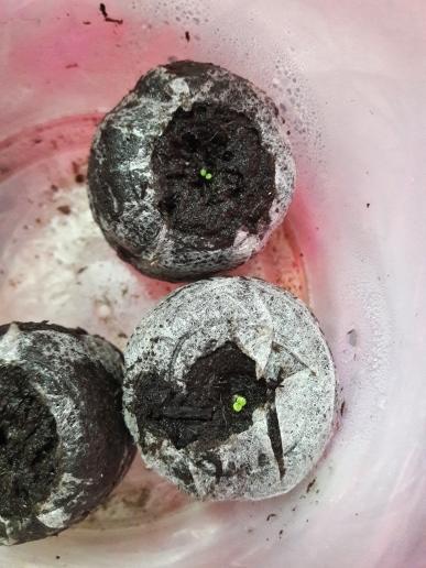 Глоксиния (из 3 семечек взошли 2), но не теряю надежды(вдруг и третья проснется)