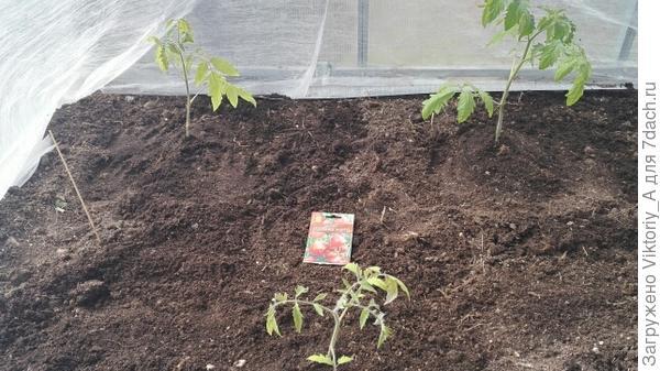 высаженные томаты