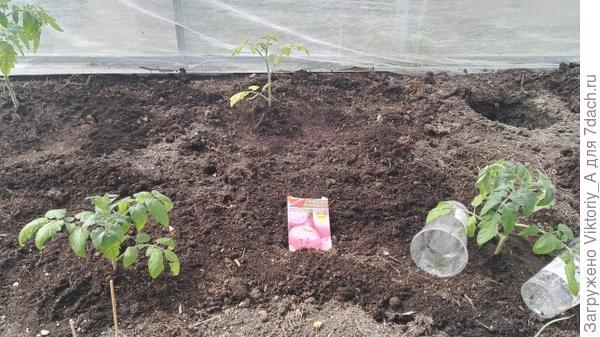 высаженные томаты 9 мая 2018