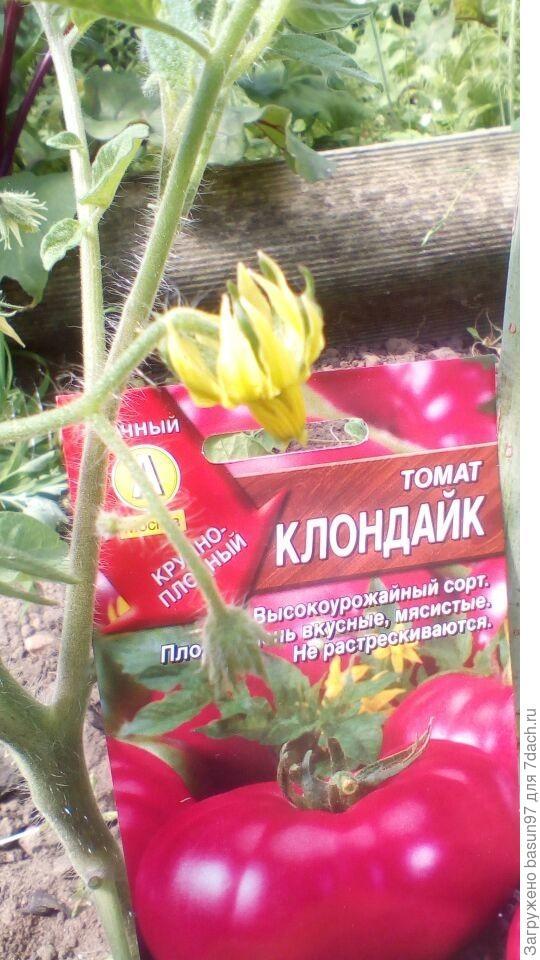 Цветение томата Клондайк