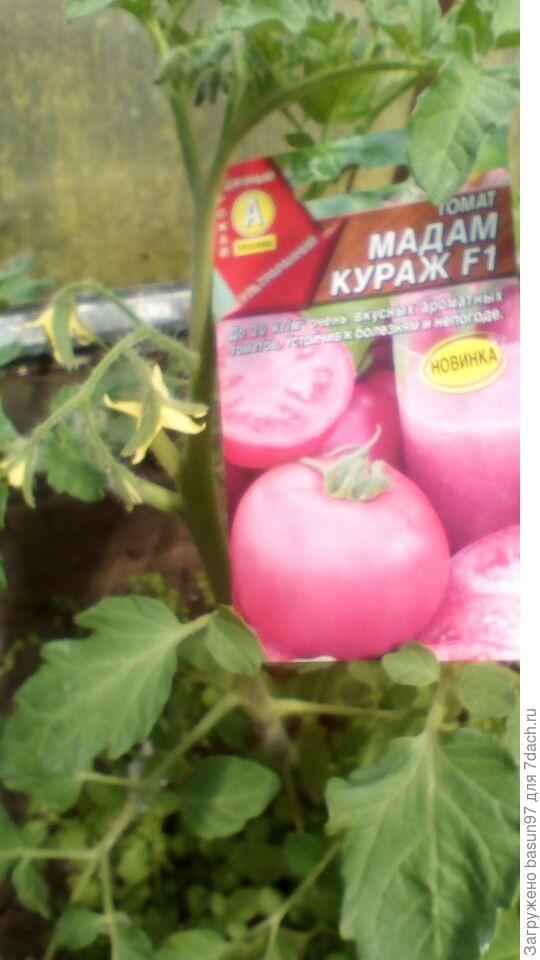 Цветение томата Мадам Кураж