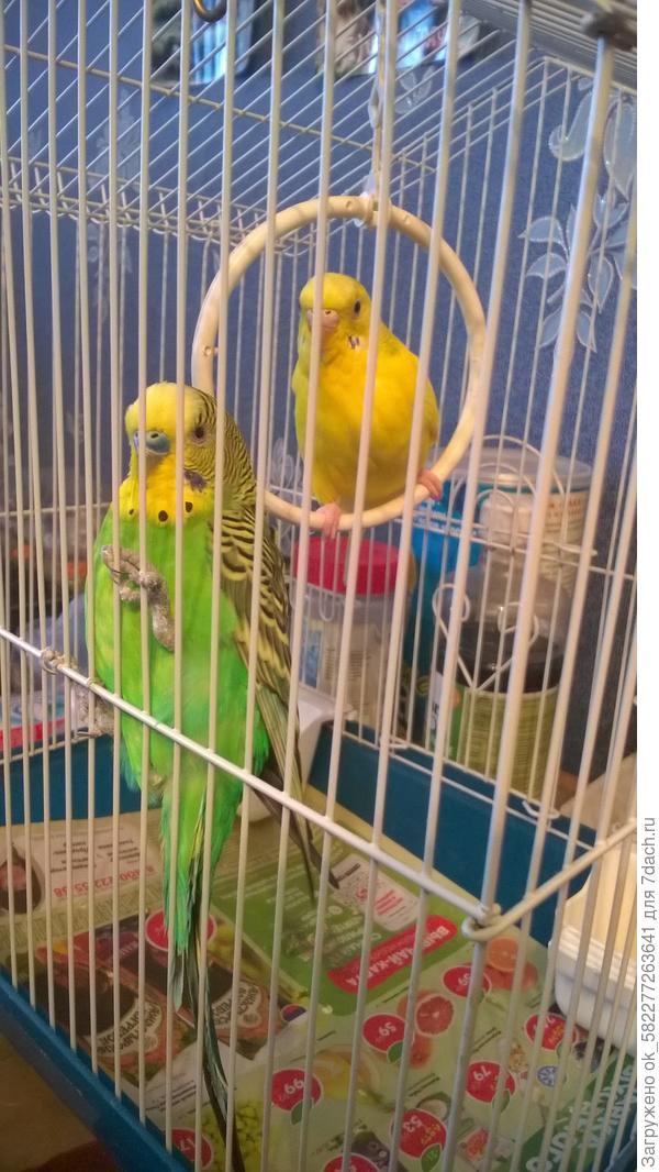 Попугайчики Даша и Прошка