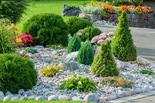 Хвойные растения украшают наши сады круглый год