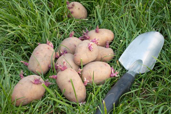 На урожайность картофеля влияет множество негативных факторов. Наша задача - минимизировать их отрицательное воздействие, чтобы осенью собрать здоровые и крупные клубни