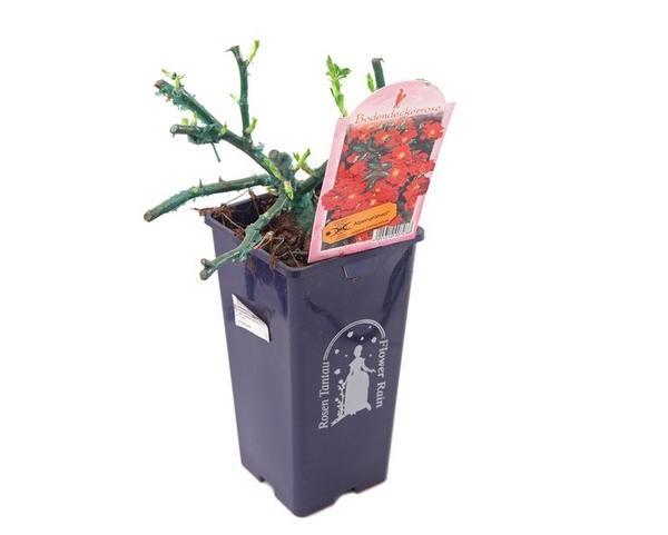 Саженец розы Тантау в контейнере