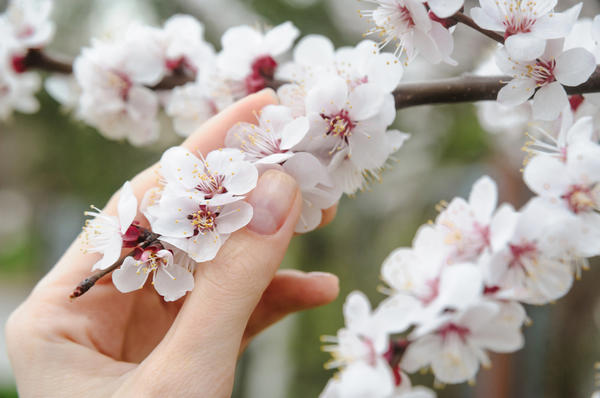 В конце апреля - начале мая нужно позаботиться о защите плодового сада