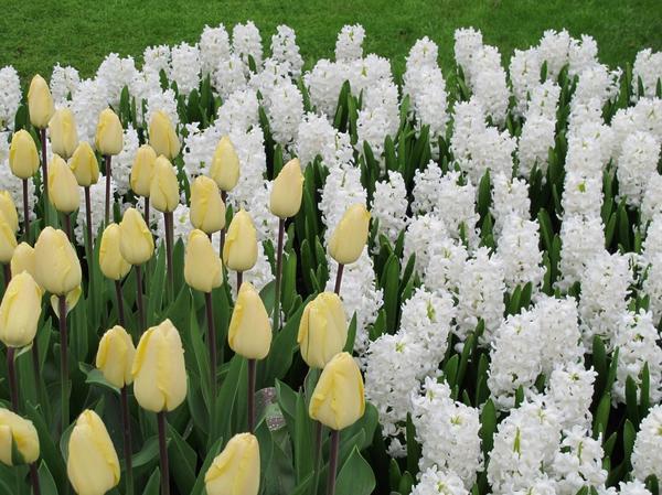 Высаживать луковичные нужно большими группами рядом, чтобы было ощущение букета, большого цветового пятна