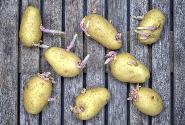 Появившиеся на картофеле ростки нужно обламывать