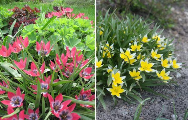 Тюльпан ботанический Little Beauty и т. поздний