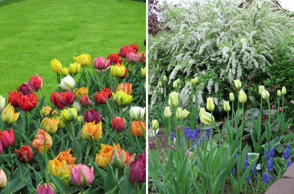 Микс из зеленоцветковых тюльпанов и весенняя композиция из тюльпанов Spring Green, мускари и цветущей спиреи